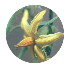 tomatoes-flower